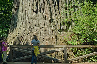 CA: North Coast Region, Humboldt County, The Redwood Coast, Redwood National Park, Newton B. Drury Scenic Parkway, Big Tree Wayside. [Ask for #271.091.]