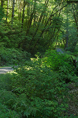 OR: South Coast Region, Coos County, Coast Range, Elliott State Forest, The Ridgetop Drive, FR 1000, The gravel forest road starts to climb out of the stream ravine its been following to reach the ridgetop [Ask for #274.A32.]